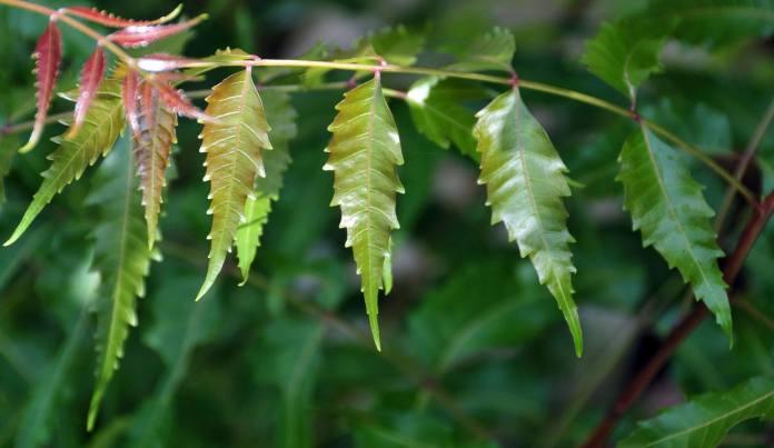 azadirachta-indica